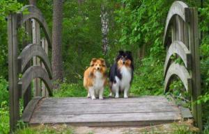 Kaksi Shetlanninlammaskoiraa poseeraavat kävelysillalla.
